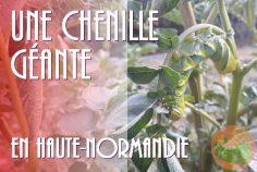 Chenille énorme en Haute-Normandie !
