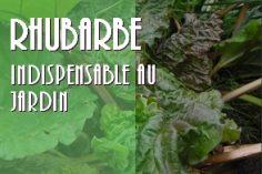 La rhubarbe incontournable plante à avoir dans son jardin !